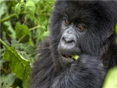 【每日晨读】经济学人GRE双语阅读 动物行为分析之猩球探秘